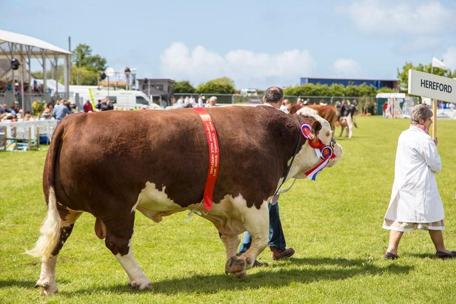 Farm Shop Award Winning Show Bull