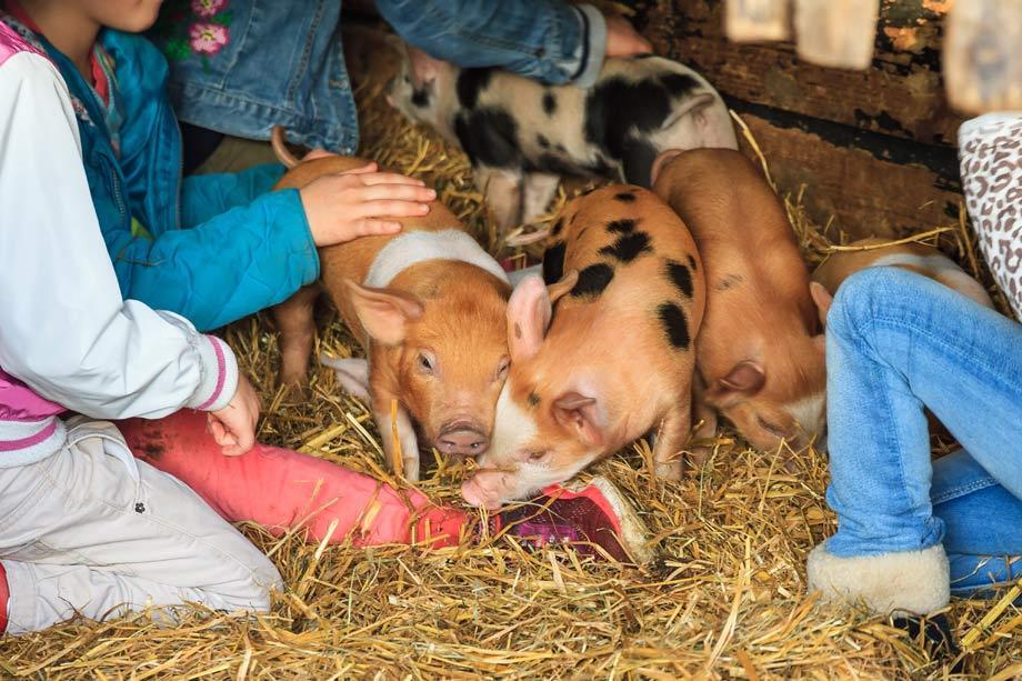 Petting Animals Farm Attraction For Children